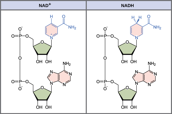 This illustration shows the molecular structure of NAD^{+} and NADH. Both compounds are composed of an adenine nucleotide and a nicotinamide nucleotide, which bond together to form a dinucleotide. The nicotinamide nucleotide is at the 5' end, and the adenine nucleotide is at the 3' end. Nicotinamide is a nitrogenous base, meaning it has nitrogen in a six-membered carbon ring. In NADH, one extra hydrogen is associated with this ring, which is not found in NAD^{+}.