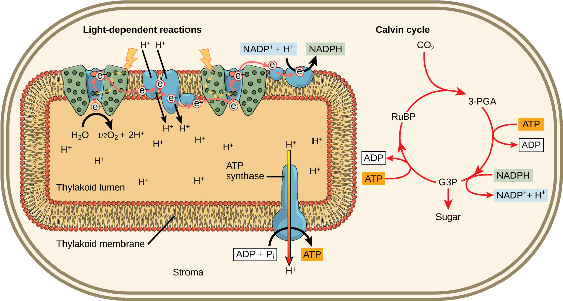 This illustration shows that ATP and NADPH produced in the light reactions are used in the Calvin cycle to make sugar.