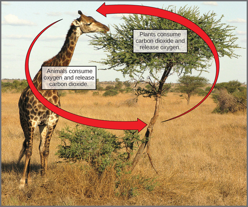 This photograph shows a giraffe eating leaves from a tree. Labels indicate that the giraffe consumes oxygen and releases carbon dioxide, whereas the tree consumes carbon dioxide and releases oxygen.