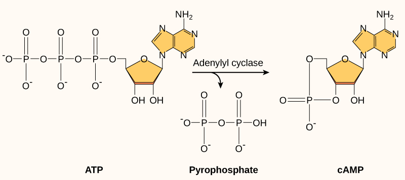 Cyclic AMP is made from ATP by the enzyme adenylyl cyclase. In the process, a pyrophosphate molecule composed of two phosphate residues is released. Cyclic AMP gets its name because the phosphate group is attached to the ribose ring in two places, forming a circle.
