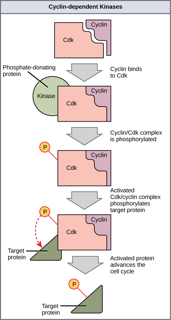 This illustration shows a cyclin protein binding to a Cdk. The cyclin/Cdk complex is activated when a kinase phosphorylates it. The cyclin/Cdk complex, in turn, phosphorylates other proteins, thus advancing the cell cycle.