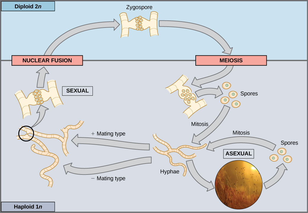 This illustration shows the life cycle of fungi. In fungi, the diploid (2n) zygospore undergoes meiosis to form haploid (1n) spores. Mitosis of the spores occurs to form hyphae. Hyphae can undergo asexual reproduction to form more spores, or they form plus and minus mating types that undergo nuclear fusion to form a zygospore.