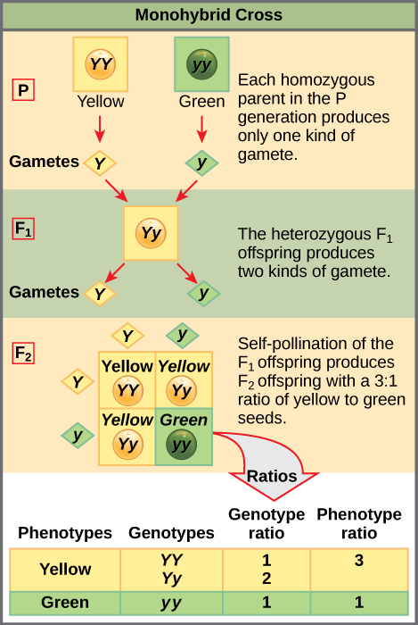 This illustration shows a monohybrid cross. In the P generation, one parent has a dominant yellow phenotype and the genotype YY, and the other parent has the recessive green phenotype and the genotype yy. Each parent produces one kind of gamete, resulting in an F_{1} generation with a dominant yellow phenotype and the genotype Yy. Self-pollination of the F_{1} generation results in an F_{2} generation with a 3 to 1 ratio of yellow to green peas. One out of three of the yellow pea plants has a dominant genotype of YY, and 2 out of 3 have the heterozygous phenotype Yy. The homozygous recessive plant has the green phenotype and the genotype yy.