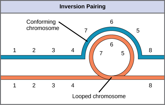 This illustration shows the inversion pairing that occurs when one chromosome undergoes inversion but the other does not. For chromosome alignment to occur during meiosis, one chromosome must form an inverted loop while the other conforms around it.