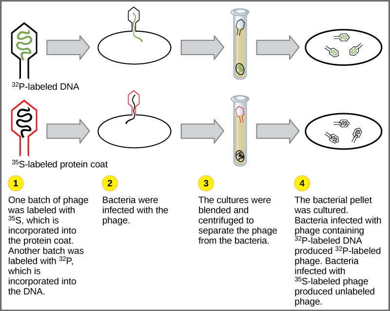 Illustration shows bacteria being infected by phage labeled with ^{35}S, which is incorporated into the protein coat, or ^{32}P, which is incorporated into the DNA. Infected bacteria were separated from phage by centrifugation and cultured. The bacteria that had been infected with phage containing ^{32}P-labeled DNA made radioactive phage. The bacteria that had been infected with ^{35}S-labeled phage produced unlabeled phage. The results support the hypothesis that DNA, and not protein, is the genetic material.