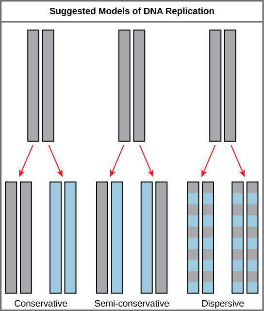Illustration shows the conservative, semi-conservative, and dispersive models of DNA synthesis. In the conservative model, when DNA is replicated and both newly synthesized strands are paired together. In the semi-conservative model, each newly synthesized strand pairs with a parent strand. In the dispersive model, newly synthesized DNA is interspersed with parent DNA within both DNA strands.
