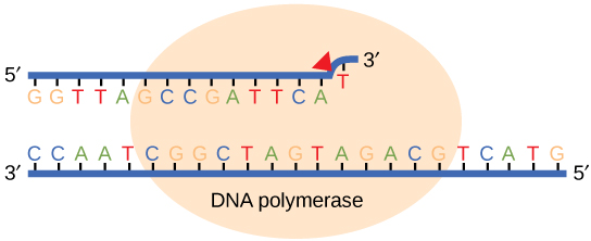 Illustration shows DNA polymerase replicating a strand of DNA. The enzyme has accidentally inserted G opposite A, resulting in a bulge. The enzyme backs up to fix the error.