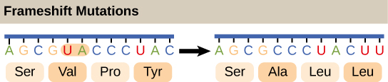 Illustration shows a frameshift mutation in which the reading frame is altered by the deletion of two amino acids.
