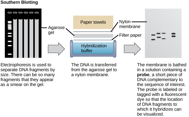 In Southern blotting, DNA is separated on the basis of size by agarose gel electrophoresis. The fragments run through the gel from top to bottom. In the gel shown in this figure, there are so many DNA fragments they appear as a smear in each lane.  The DNA from the gel is transferred to a nylon membrane. To do so, the gel is sandwiched between filter paper and the membrane and placed in hybridization buffer. Paper towels above the gel wick up the moisture and assist in the transfer. The nylon membrane is then incubated with a radioactively or fluorescently labeled probe that is complementary to the sequence of interest. Discrete bands appear where the sequence of interest is located.