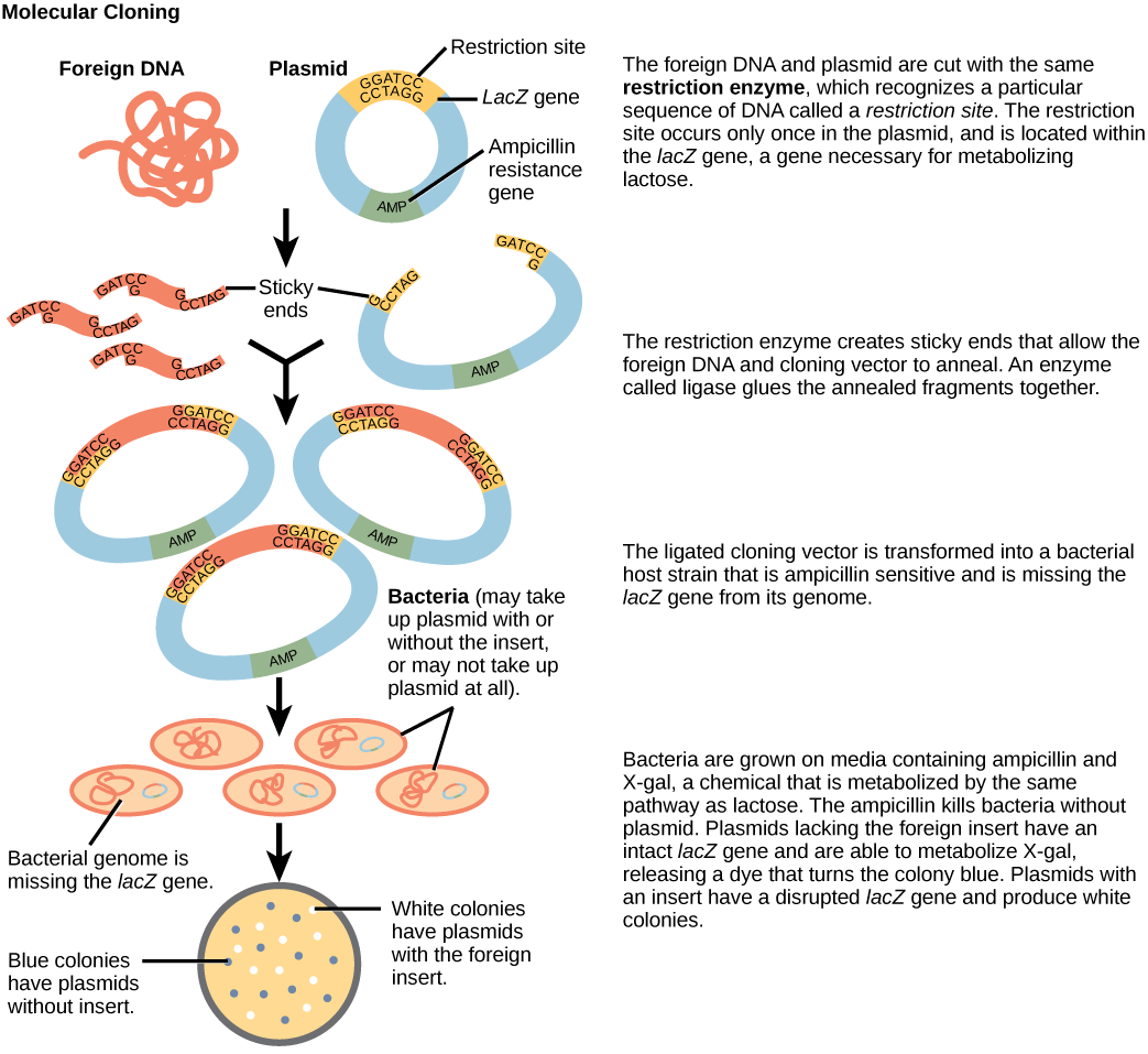 Figure illustrates the steps in molecular cloning into a plasmid called a cloning vector. The vector has a lacZ gene, which is necessary for metabolizing lactose, and a gene for ampicillin resistance. Within the lacZ gene are restriction sites, sequences of DNA cut by a particular restriction enzyme. The DNA to be cloned and the plasmid are both cut by the same restriction enzyme. The restriction enzyme staggers the cuts on the two strands of DNA, such that each strand has an overhanging single-stranded bit of DNA. On one strand, the sequence of the overhang is GATC, and on the other, the sequence is CTAG. These two sequences are complementary, and allow the fragment of foreign DNA to anneal with the plasmid. An enzyme called ligase joins the two pieces together. The ligated plasmid is then transformed into a bacterial strain that lacks the lacZ gene and is sensitive to the antibiotic ampicillin. The bacteria are plated on media containing ampicillin, so that only bacteria that have taking up the plasmid (which has an ampicillin resistance gene) will grow. The media also contains X-gal, a chemical that is metabolized in the same way as lactose. Plasmids lacking the insert are able to metabolize X-gal, releasing a dye from X-gal that turns the colony blue. Plasmids with the insert have a disrupted lacZ gene and produce white colonies. Thus, colonies containing the cloned DNA can be selected on the basis of color.