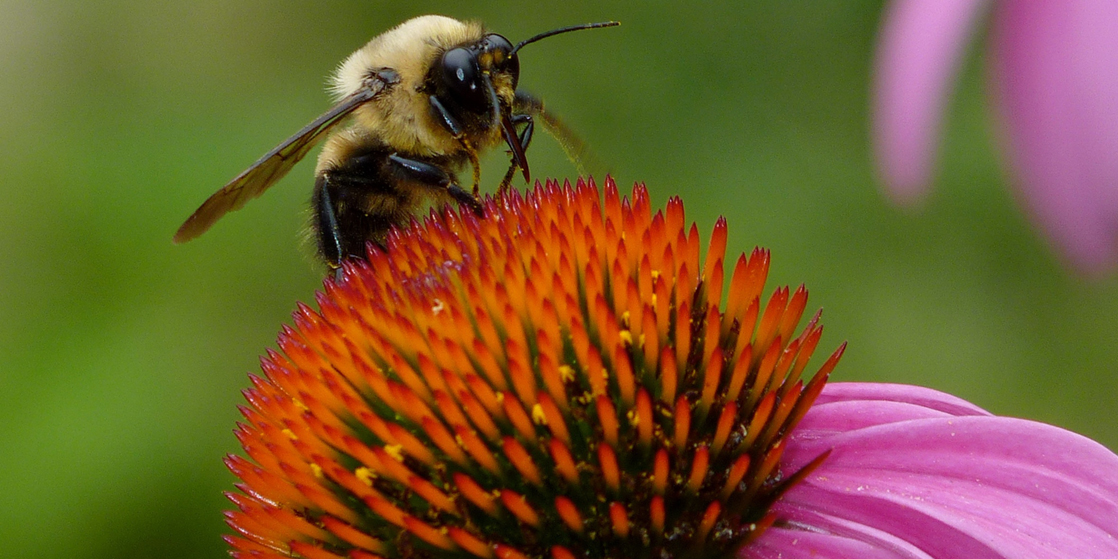 Photo shows a bee collecting nectar from a flower.