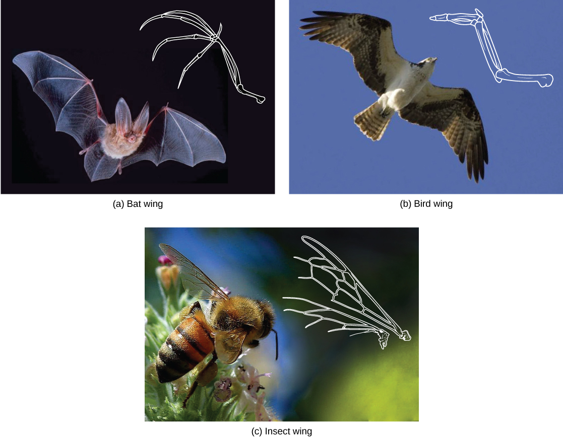 Photo a shows a bat wing, photo b shows a bird wing, and photo c shows a honeybee wing, and all three are similar in overall shape. However, the bird wing and bat wing are both made from homologous bones that are similar in appearance. The honeybee wing is made of a thin, membranous material rather than bone.