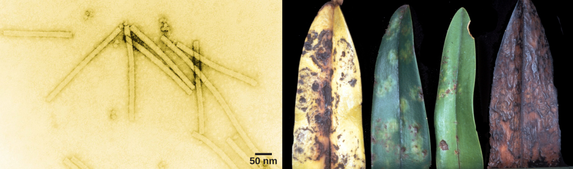 The left electron micrograph shows the tobacco mosaic virus, which is shaped like a long, thin rectangle. The right photo shows an orchid leaf in varying states of decay. Initial symptoms are yellow and brown spots. Eventually, the entire leaf turns yellow with brown blotches, then completely brown.