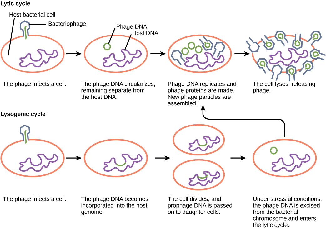 The bacteriophage lytic cycle begins when the phage attaches via a slender stalk to the host cell. Linear DNA from the viral head is injected into the host cell. The phage DNA circularizes, remaining separate from the host DNA. The phage DNA replicates, and new phage proteins are made. New phage particles are assembled. The cell lyses, releasing the phage. The bacteriophage lysogenic cycle begins the same way as the lytic cycle, with phage infecting a host cell. However, the phage DNA becomes incorporated into the host genome. The cell divides, and phage DNA is passed on to daughter cells. Under stressful conditions, the phage DNA is excised from the bacterial chromosome and enters the lytic cycle.