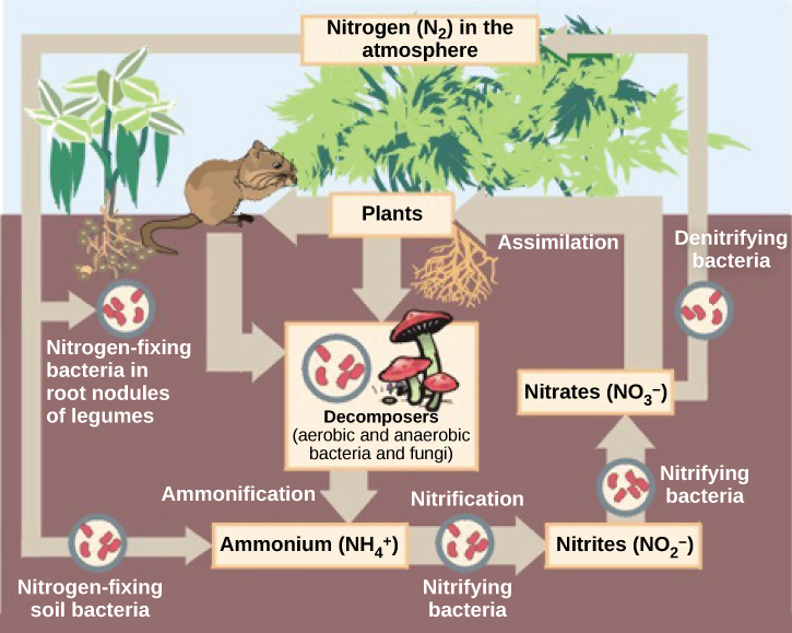 This illustration shows the role of bacteria in the nitrogen cycle. Nitrogen-fixing bacteria in root nodules of legumes convert nitrogen gas, or N2, into organic nitrogen found in plants. Nitrogen-fixing soil bacteria produce ammonium ion, or NH4+. Decomposers, including bacteria and fungi, decompose organic matter, also releasing NH4+. Nitrification is the process by which nitrifying bacteria produce nitrites (NO2-) and nitrates (NO3-). Nitrates are assimilated by plants, then animals, then decomposers. Denitrifying bacteria convert nitrates to nitrogen gas, completing the cycle.