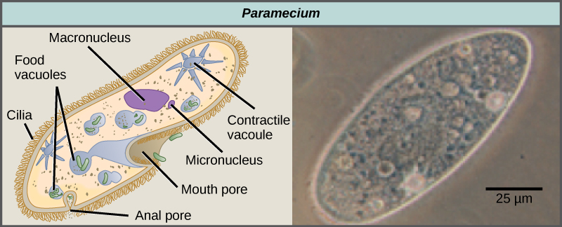 The illustration on the left shows a shoe-shaped Paramecium. Short, hair-like cilia cover the outside of the cell. Inside are food vacuoles, a large macronucleus, and a small micronucleus. The Paramecium has two star-shaped contractile vacuoles. The mouth pore is an indentation located just where the foot narrows. A small opening called the anal pore is located at the wide end of the cell. The micrograph on the right is a Paramecium, which is about 50 microns across and 150 microns long.