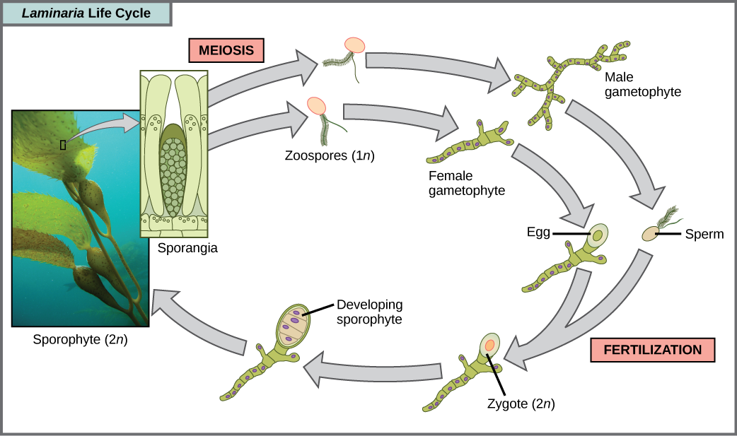 The life cycle of the brown algae, Laminaria, begins when sporangia undergo meiosis, producing 1n zoospores. The zoospores undergo mitosis, producing multicellular male and female gametophytes. The female gametophyte produces eggs, and the male gametophyte produces sperm. The sperm fertilizes the egg, producing a 2n zygote. The zygote undergoes mitosis, producing a multicellular sporophyte. The mature sporophyte produces sporangia, completing the cycle. A photo inset shows the sporophyte stage, which resembles a plant with long, flat blade-like leaves attached to green stalks via bladder-like connections. Both the blade and stalks are submerged. Sporangia are associated with the leaf-like structures.