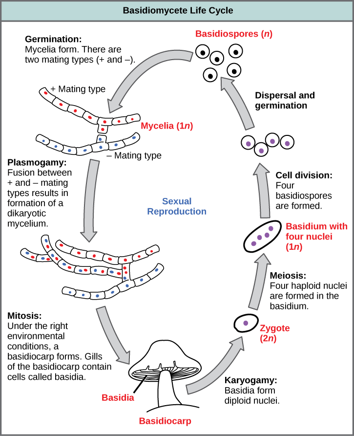 The life cycle of basidiomycetes, better known as mushrooms, is shown. Basidiomycetes have a sexual life cycle that begins with the germination of 1n basidiospores into mycelia with plus and minus mating types. In a process called plasmogamy, the plus and minus mycelia form a dikaryotic mycelium. Under the right conditions, the dikaryotic mycelium grows into a basdiocarp, or mushroom. Gills on the underside of the mushroom cap contain cells called basidia. The basidia undergo karyogamy to form a 2n zygote. The zygote undergoes meiosis to form cells with four haploid (1n) nuclei. Cell division results in four basidiospores. Dispersal and germination of basidiospores ends the cycle.