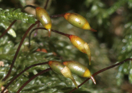 In the photo, setae appear as long, slender, bent stems with oval-shaped capsules at the tips.