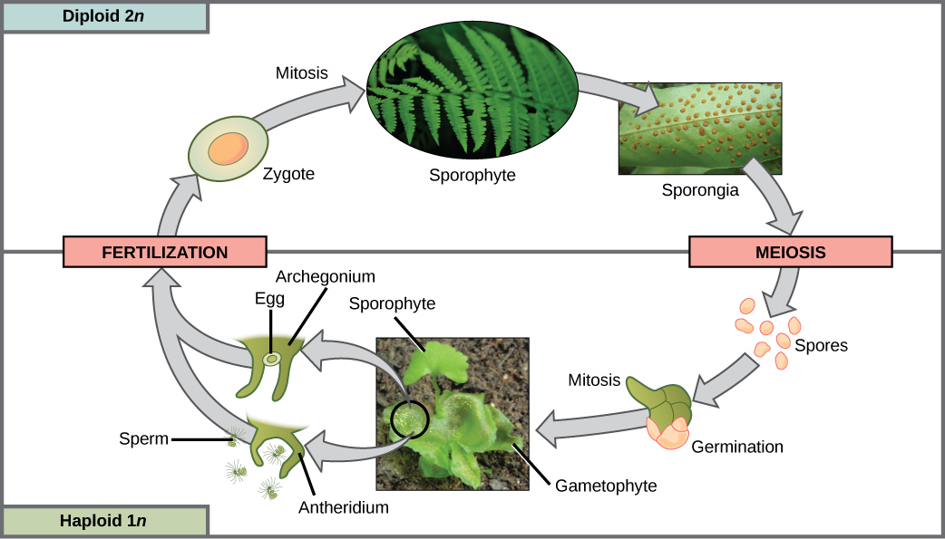 The fern life cycle begins with a diploid (2n) sporophyte, which is the fern plant. Sporangia are round bumps that occur on the bottom of the leaves. Sporangia undergo mitosis to form haploid (1n) spores. The spores germinate and grow into a green gametophyte 1n that resembles lettuce. The gametophyte contains antheridia that produce, sperm and archegonia that produce eggs. Inside the archegonium the sperm fertilizes the egg, forming a diploid (2n) zygote. The zygote undergoes mitosis to form a 2n sporophyte, ending the cycle.