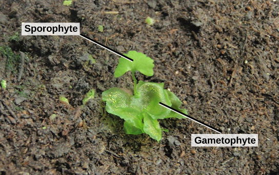 The photo shows a young sporophyte with a fan-shaped leaf growing from a lettuce-like gametophyte.
