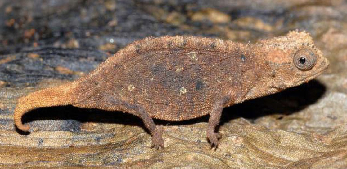 Photo shows a mottled brown chameleon that blends into the leaf it sits on.