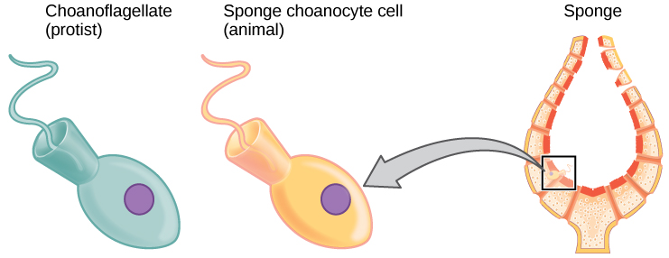The image on the left shows a choanoflagellate, which is a single-celled protest. The image on the right shows a sponge choanocyte cell that lines in inside of a sponge. The two cells appear identical. Both are egg-shaped with a cone at the back end. A flagellum juts out from the wide part of the cone.