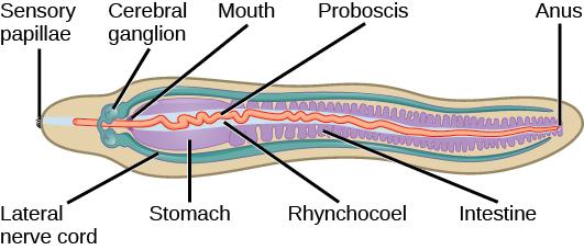 Superphylum Lophotrochozoa Biology