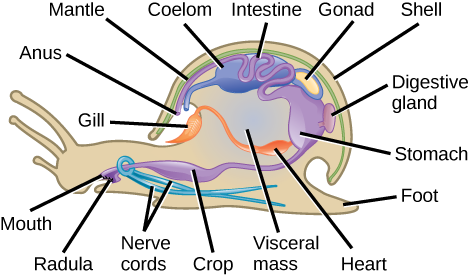 The illustration shows a cross-section of a snail. The body of the snail is called the visceral mass. The mouth leads to a crop, then to the stomach, which is toward the back of the animal. The intestines are located above the stomach. The intestines continue forward, and empty into a cavity above the front part of the visceral mass. Two nerve cords wrap around the esophagus and extend back along the bottom of the animal. The gill is located in the cavity in the shell, and connects to the heart in the visceral mass. The coelom is near the heart. The visceral mass is surrounded by a mantle. A shell covers the mantle.