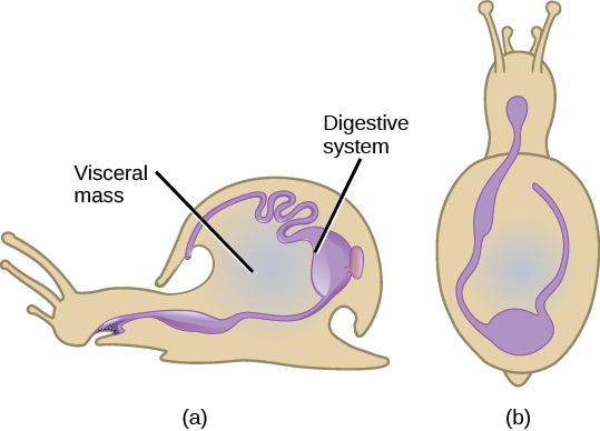 Illustration A shows a side view of a snail. The digestive system starts at the mouth, and continues to the stomach toward the back of the shell. The stomach empties into the intestines, which continue forward along the upper inside edge of the shell and end a cavity above the mouth. Illustration B shows a top view of a snail. From the mouth, the digestive tract curves toward the left, then hooks around to the right and goes back toward the front of the animal.
