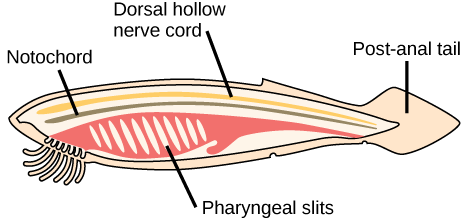 The illustration shows a fish-shaped chordate. A long, thin dorsal hollow nerve cord runs the length of the chordate, along the top. Immediately beneath the nerve cord is a notochord that also runs the length of the organism. Beneath the notochord, pharyngeal slits cut diagonally into tissue toward the front of the organism. A post-anal tail occurs at the rear.