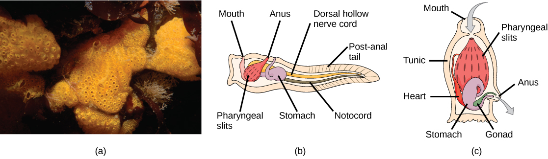 Photo A shows tunicates, which are sponge-like in appearance and have holes along the surface. Illustration B shows the tunicate larval stage, which resembles a tadpole, with a post anal tail at the narrow end. A dorsal hollow nerve cord run along the upper back, and a notochord runs beneath the nerve cord. The digestive tract starts with a mouth at the front of the animal connected to a stomach. Above the stomach is the anus. The pharyngeal slits, which are located in between the stomach and mouth, are connected to an atrial opening at the top of the body. Illustration C shows an adult tunicate, which resembles a tree stump anchored to the bottom. Water enters through a mouth at the top of the body and passes through the pharyngeal slits, where it is filtered. Water then exits through another opening at the side of the body. A heart, stomach and gonad are tucked beneath the pharyngeal slit.