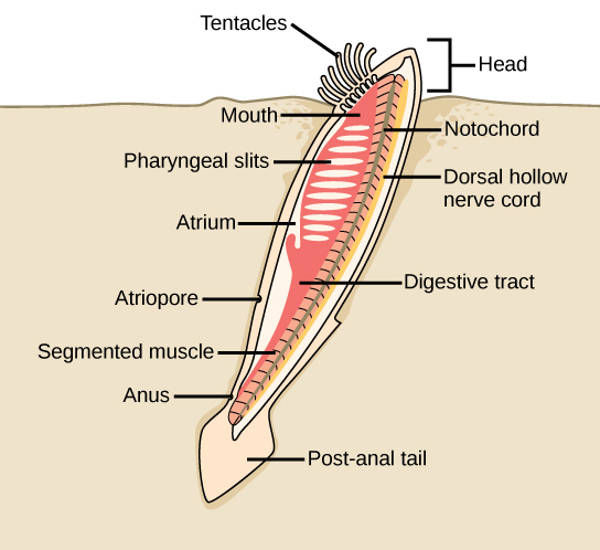 The illustration shows a lancelet with a head protruding form the sand, and the rest of the body buried. On the head, tentacles surround the mouth. The mouth leads to a digestive tract. The anus is just before the post anal tail. The pharyngeal slits are next to the atrium, which empties into the atriopore. The body has segmented muscles running along it from top to bottom.