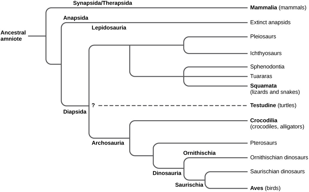 The trunk of the amniote phylogenetic tree is the ancestral amniote. Initially, the tree branches into diapsids, anapsids, and synapsids. Synapsids give rise to mammals, which are therapsids. Anapsids are all extinct. Diapsids are subdivided into two groups, lepidosaurs and archosaurs. Lepidosauria includes plesiosaurs, ichthyosaurs, Sphenodontia and Squamata, which includes lizards and snakes. Archosauria branches into Crocodilia, pterosaurs, dinosaurs, and birds.