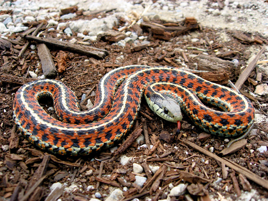 The photo shows a snake with orange and black bands and white stripes.
