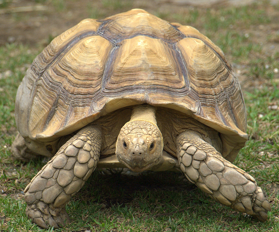 The photo shows a very large tortoise.