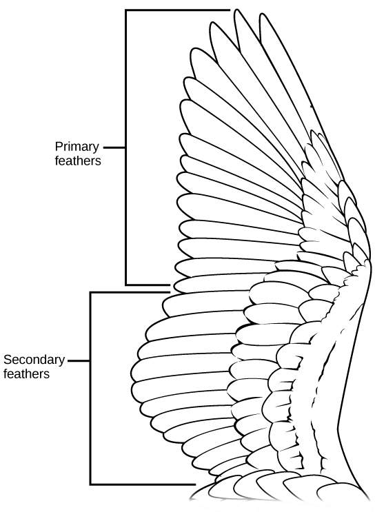 The illustration shows a bird's wing, which has two layers of flight feathers, the long primary feathers and the shorter secondary feathers, which overlay the primary feathers.