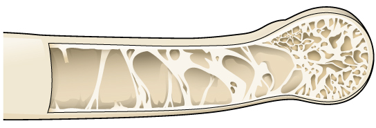 The illustration shows a hollow bone with structural supports providing reinforcement.