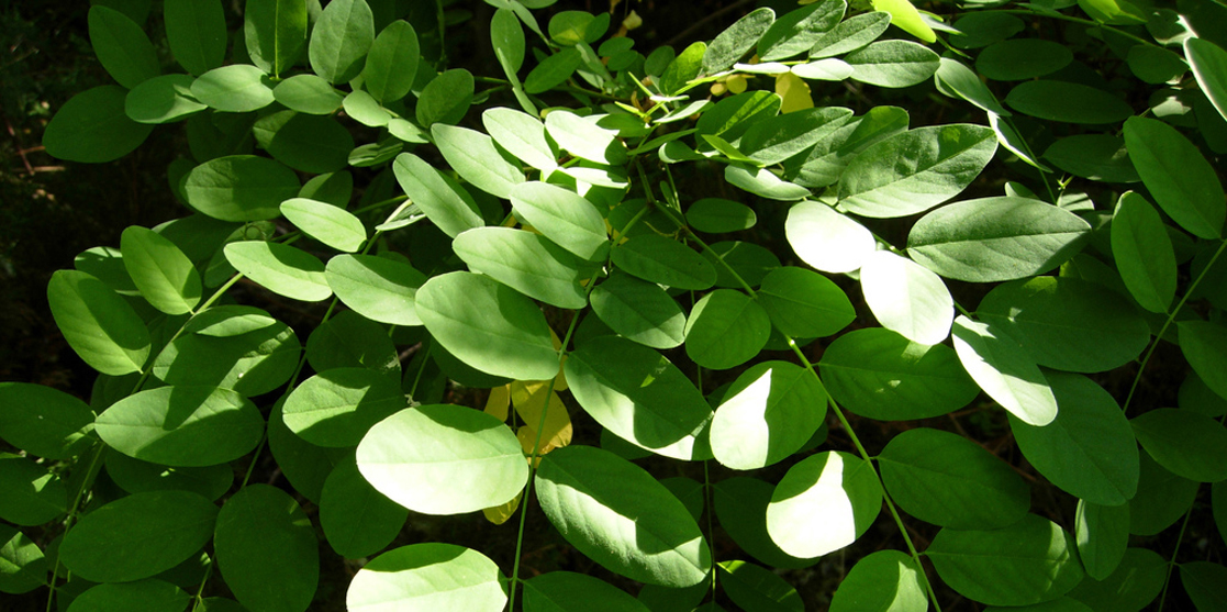 Photo shows a plant with oval leaves that oppose each other on long, thin branches.