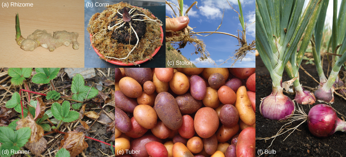 Photos show six types modified stems: (a) Lumpy white ginger rhizomes are connected together. A green shoot projects from one end. (b) The carrion flower corm is conical-shaped, with white roots spreading from the bottom of the cone, just above the dirt. (c) Two grass plants are connected by a thick, brown stem. (d) Strawberry plants are connected together by a red runner. (e) The part of the potato plant that humans consume is a tuber. (f) The part of the onion plant that humans consume is a bulb.