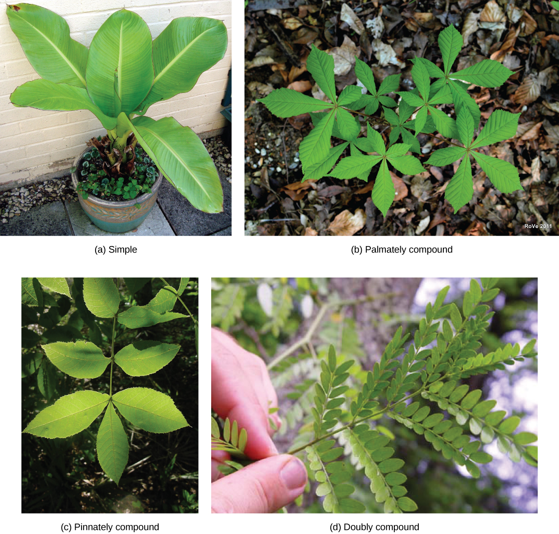 Photo (a) shows the large-leaves of a potted banana plant growing from a single stem; (b) shows a horse chestnut plant, which has five leaves radiating from the petiole as fingers radiate from the palm of a hand; (c) shows a scrub hickory plant with feather-shaped leaves opposing each other along the stem, and a single leaf at the end of the stem. (d) shows a honey locust with five pairs of stem-like veins connected to the midrib. Tiny leaflets grow from the veins.