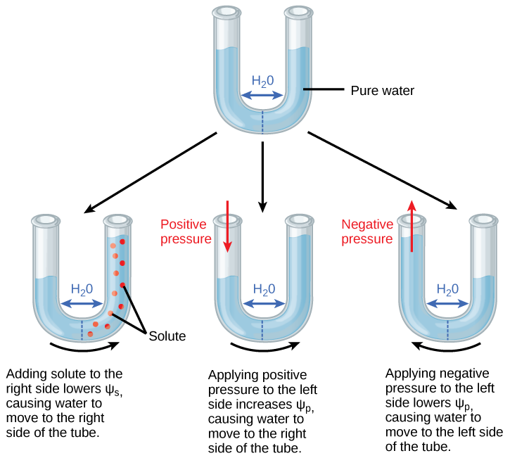 Illustration shows a U-shaped tube holding pure water. A semipermeable membrane, which allows water but not solutes to pass, separates the two sides of the tube. The water level on each side of the tube is the same. Beneath this tube are three more tubes, also divided by semipermeable membranes. In the first tube, solute has been added to the right side. Adding solute to the right side lowers psi-s, causing water to move to the right side of the tube. As a result, the water level is higher on the right side. The second tube has pure water on both sides of the membrane. Positive pressure is applied to the left side. Applying positive pressure to the left side causes psi-p to increase. As a results, water moves to the right so that the water level is higher on the right than on the left. The third tube also has pure water, but this time negative pressure is applied to the left side. Applying negative pressure lowers psi-p, causing water to move to the left side of the tube. As a result, the water level is higher on the left.