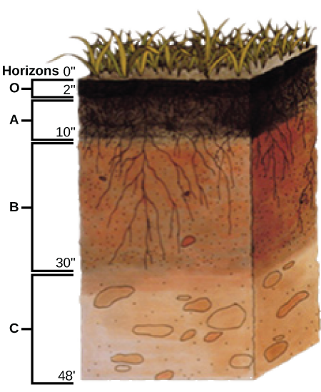 Illustration shows a cross-section of soil layers, or horizons. The top layer, from zero to two inches, is the O horizon. The O horizon is a rich, deep brown color. From two to ten inches is the A horizon. This layer is slightly lighter in color than the O horizon, and extensive root systems are visible. From ten to thirty inches is the B horizon. The B horizon is reddish brown. Longer roots extend to the bottom of this layer. The C  horizon extends from 30 to 48 inches. This layer is rocky and devoid of roots.