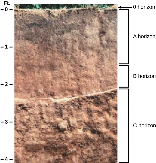 In the photo, soil has been cut away to reveal the soil profile. The O horizon is at the soil surface and is a rich black color. The brown A horizon starts beneath the O horizon and extends to about two-and-a-half feet beneath the surface. The B horizon is reddish brown and extends from the bottom of the A horizon to about two feet deep. The C horizon extends from the bottom of the B horizon to the bottom of the photo at a depth of four feet. The C horizon is light brown and has a coarser consistency than the A or B horizons.