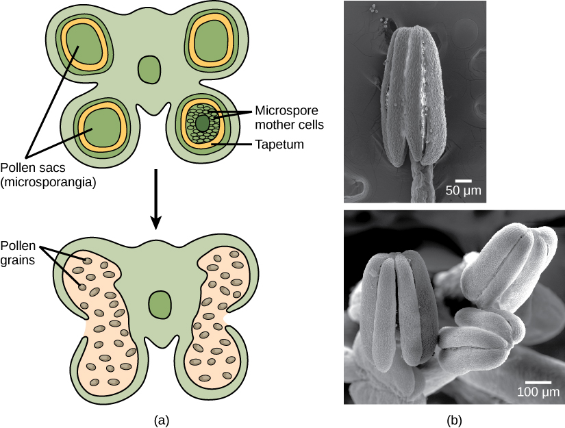 Illustration A shows cross section of an anther, which has four lobes each containing a pollen sac, or microsporangium. Inside the pollen sac is a layer called the tapetum, and within this ring are the microspore mother cells. As the microsporangium matures, two pollen sacs merge and an opening forms between them so that the pollen can be released. Micrographs in part B show pollen sacs with a visible opening between them.