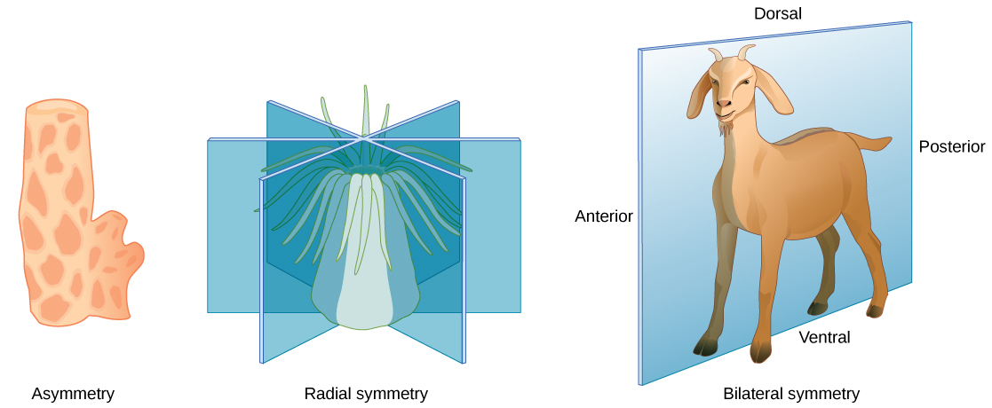 Illustration A shows an asymmetrical sponge with a tube-like body and a growth off to one side. Illustration B shows a sea anemone with a tube-like, radial symmetrical body. Tentacles grow from the top of the tube. Three vertical planes arranged 120 degrees apart dissect the body. The half of the body on one side of each plane is a mirror image of the body on the other side. Illustration C shows a goat with a bilaterally symmetrical body. A plane runs from front to back through the middle of the goat, dissecting the body into left and right halves, which are mirror images of each other. The top part of the goat is defined as dorsal, and the bottom part is defined as ventral. The front of the goat is defined as anterior, and the back is defined as posterior.