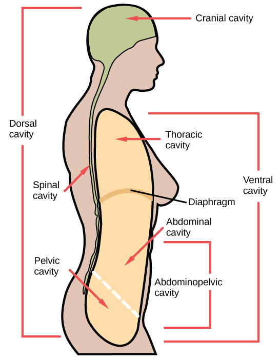 Illustration shows a cross-sectional side view of the upper part of a human body. The entire head region above the eyes and to the back of the head and a long thin strip from this region down the back is shaded to indicate the dorsal cavity. The head is labeled cranial cavity and the long thin region down the back is the spinal cavity. A large oblong area shaded at the front of the body indicates the ventral cavity. It is labeled from top to bottom as thoracic cavity, diaphragm (thin line separating regions), abdominal cavity, and pelvic cavity. The abdominal and pelvic cavities are separated by a thin dashed line and together they are labeled the abdominopelvic cavity.