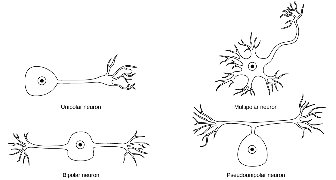 The unipolar cell has a single, long axon extending from the cell body. The bipolar neuron has two axons projecting from opposite sides of the cell body. The multipolar neuron has one long axon and several short, highly branched axons extending in all directions. The pseudounipolar neuron has one axon that forms two branches a short distance from the cell body, each of which extends in a different direction.
