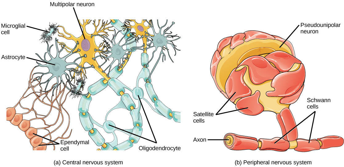 Illustration A shows various types of glial cells surrounding a multipolar nerve of the central nervous system. Oligodendrocytes have an oval body and protrusions that wrap around the axon. Astrocytes are round and slightly larger than neurons, with many extensions projecting outward to neurons and other cells. Microglia are small and rectangular, with many fine projections. Ependymal cells have small, round bodies lined up in a row. Long extensions connect with an astrocyte. Illustration B shows a pseudounipolar cell of the peripheral nervous system. Schwann cells wrap around the branched axon, and satellite cells surround the neuron cell body.