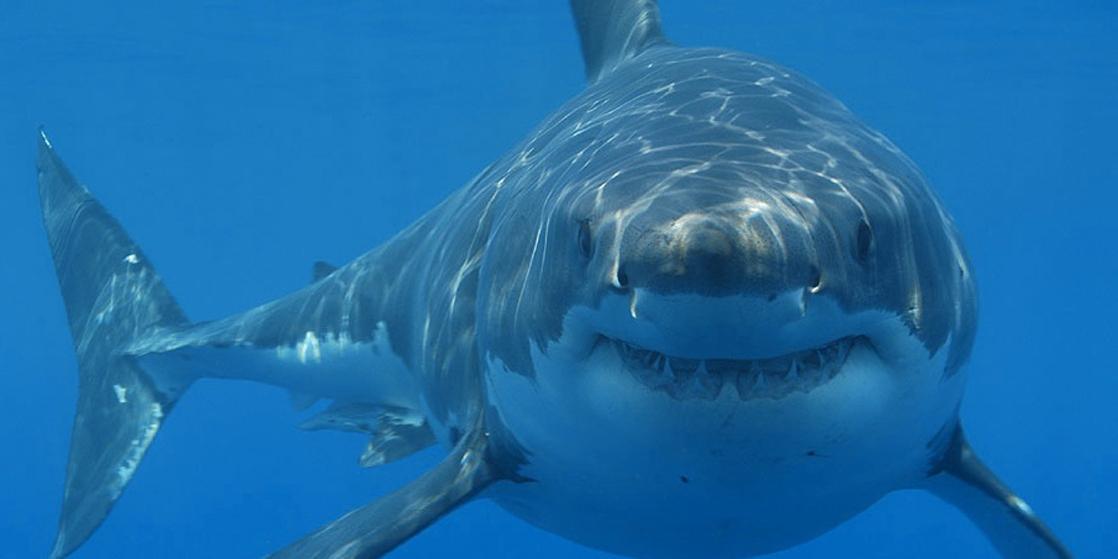 Photo shows a shark swimming toward the camera.